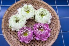 Nelumbo nucifera gaertn flower 03 (Nelumbonaceae) Royalty Free Stock Photography
