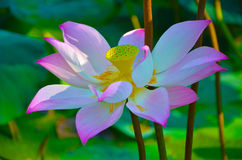 Floating water lily Stock Image