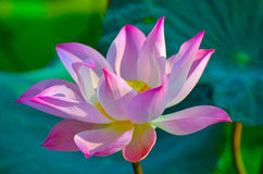 Floating water lily. Nelumbo nucifera gaertn in thailand Royalty Free Stock Image