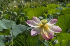 Nelumbo Nucifera, Heilig Lotus Royalty-vrije Stock Foto's