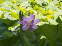 Nelumbo Nucifera, Heilig Lotus Royalty-vrije Stock Foto