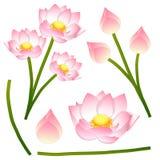 Nelumbo nucifera - Indian lotus, sacred lotus, bean of India, Egyptian bean. National flower of India and Vietnam. Stock Photography