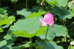 Nelumbo nucifera Stock Photography