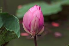 Nelumbo nucifera jest kwiatonośni różowi lotosowi gatunki zdjęcie royalty free