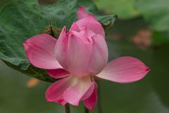 Nelumbo nucifera jest kwiatonośni różowi lotosowi gatunki fotografia royalty free