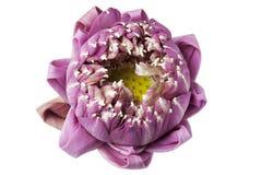 Nelumbo nucifera kwiat (Nelumbonaceae) Obrazy Royalty Free