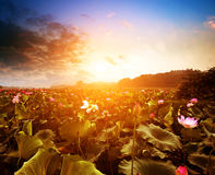 Nelumbo nucifera(Lake and sunset) Stock Image