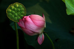 Nelumbo nucifera Stock Photos