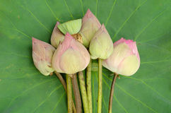 Nelumbo nucifera Royalty Free Stock Photos