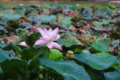 Nelumbo nucifera. The lotus is often confused with the water lilies (Nymphaea, in particular Nymphaea caerulea, sometimes called the blue lotus). In fact Royalty Free Stock Images