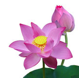 Nelumbo Nucifera Lotus. Pink Nelumbo Nucifera Sacred Lotus isolated on white background Stock Photos