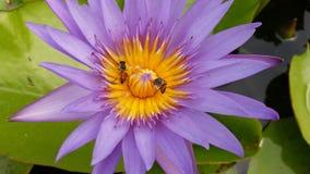 Nelumbo nucifera Saered lotosu egipcjanin Zdjęcie Stock