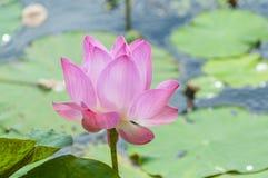 Nelumbo nucifera, także znać jako Indiański lotos, święty lotos, fasola India lub lotos, po prostu, Azja obraz stock