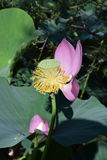 Nelumbo Nucifera. Very rare aquatic plant of the Lotus family. Nelumbo nucifera Royalty Free Stock Photos