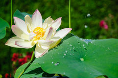 Nelumbo Nucifera. White and pink Lotus Flower with water droplets and frozen lotus effect Stock Photography