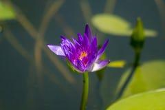 Nelumbonuciferaen Gaertn har purpurfärgat blomma för blommor royaltyfria bilder