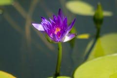 Nelumbonuciferaen Gaertn har purpurfärgat blomma för blommor arkivbild