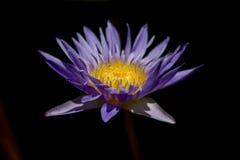 Nelumbonuciferaen Gaertn har purpurfärgat blomma för blommor arkivbilder
