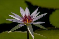 Nelumbonuciferaen Gaertn har purpurfärgat blomma för blommor royaltyfria foton
