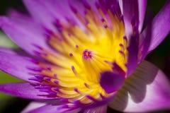 Nelumbonuciferaen Gaertn har purpurfärgat blomma för blommor royaltyfri bild
