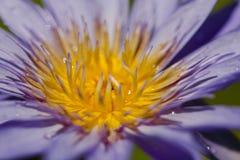 Nelumbonuciferaen Gaertn har purpurfärgat blomma för blommor arkivfoton