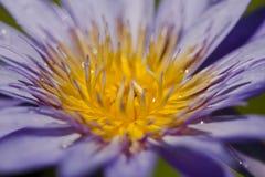 Nelumbonuciferaen Gaertn har purpurfärgat blomma för blommor royaltyfri fotografi
