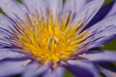 Nelumbonuciferaen Gaertn har purpurfärgat blomma för blommor fotografering för bildbyråer