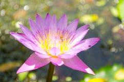 Nelumbonuciferagaertn BUA Luang, som källor i South East Asia Royaltyfria Foton