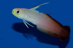 Firefish goby Stock Images