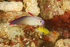 Nemateleotris decora - Purple fire goby Royalty Free Stock Photo