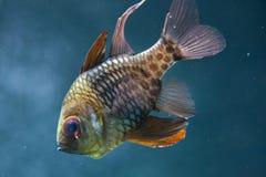 Nematoptera Sphaeramia cardinalfish пижамы стоковая фотография