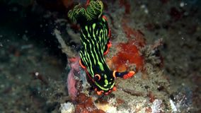 Nembrotha在沙子的kubaryana nudibranch在Lembeh海峡苏拉威西岛 影视素材