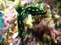 Nembrotha在珊瑚的kubaryana nudibranch在王侯Ampat 股票视频