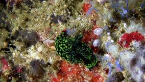Nembrotha在珊瑚的kubaryana nudibranch在Lembeh海峡苏拉威西岛 股票视频