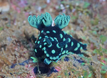 Nembrotha cristata Royalty Free Stock Photos
