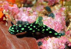 Nembrotha Cristata Royalty Free Stock Photography