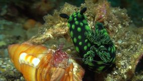 Nembrotha cristata with hermit crab nudibranch stock footage