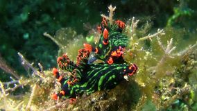 Nembrotha kubaryana nudibranch在沙子联接在Lembeh海峡苏拉威西岛 影视素材