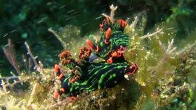 Nembrotha kubaryana nudibranch在沙子联接在Lembeh海峡苏拉威西岛 股票录像