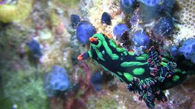 Nembrotha kubaryana  nudibranch stock footage