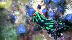 Nembrotha kubaryana  nudibranch stock footage
