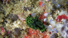 Nembrotha kubaryana nudibranch stock video footage
