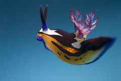 Nembrotha van Bighorn Royalty-vrije Stock Afbeelding