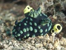 Nembrothacristata van Nudibranch Stock Afbeeldingen