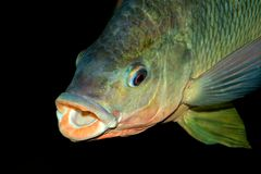 Nembwe fish portrait Royalty Free Stock Images