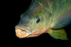 Nembwe fish portrait. Portrait of an African Nembwe fish (Serranochromis robustus), Zambezi river, southern Africa royalty free stock images