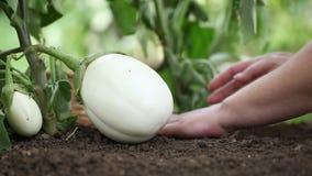 Nemen de aubergines witte installaties, handen zorg werkend in de moestuin stock footage