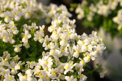 Nemesia Royalty Free Stock Photography