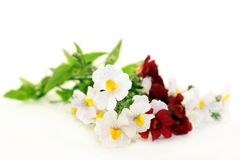 Nemesia. Flower and leaves against a white background Stock Images