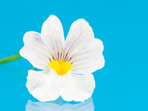 Nemesia Flower Royalty Free Stock Image